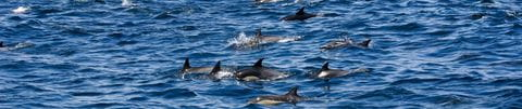 Dolphins in the Kvarner Bay