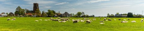 Schafherde in Holland