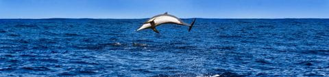 Delfin in der Kvarner Bucht