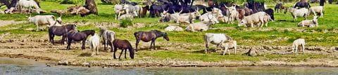 Halbwilde Pferde und Rinder im Naturpark Eisernes Tor